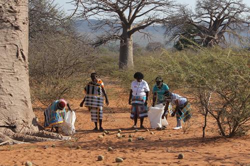 baobab fruit harvesting, culture of caring