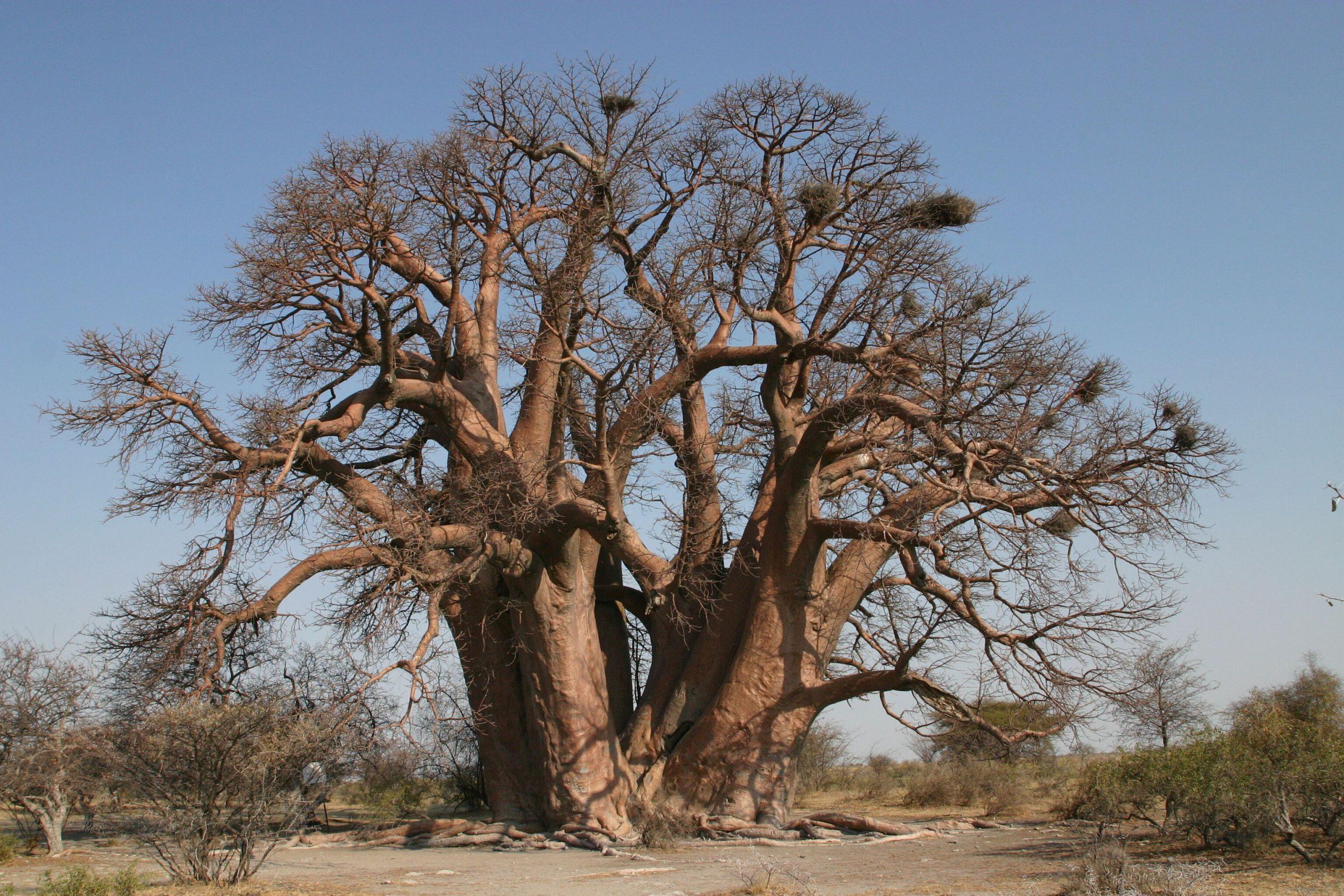 baobab oil for beauty, baobab oil, healing skin