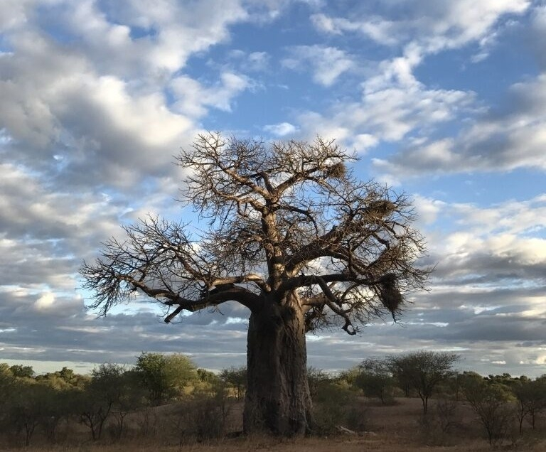 About baobabs: how long can a baobab tree live?