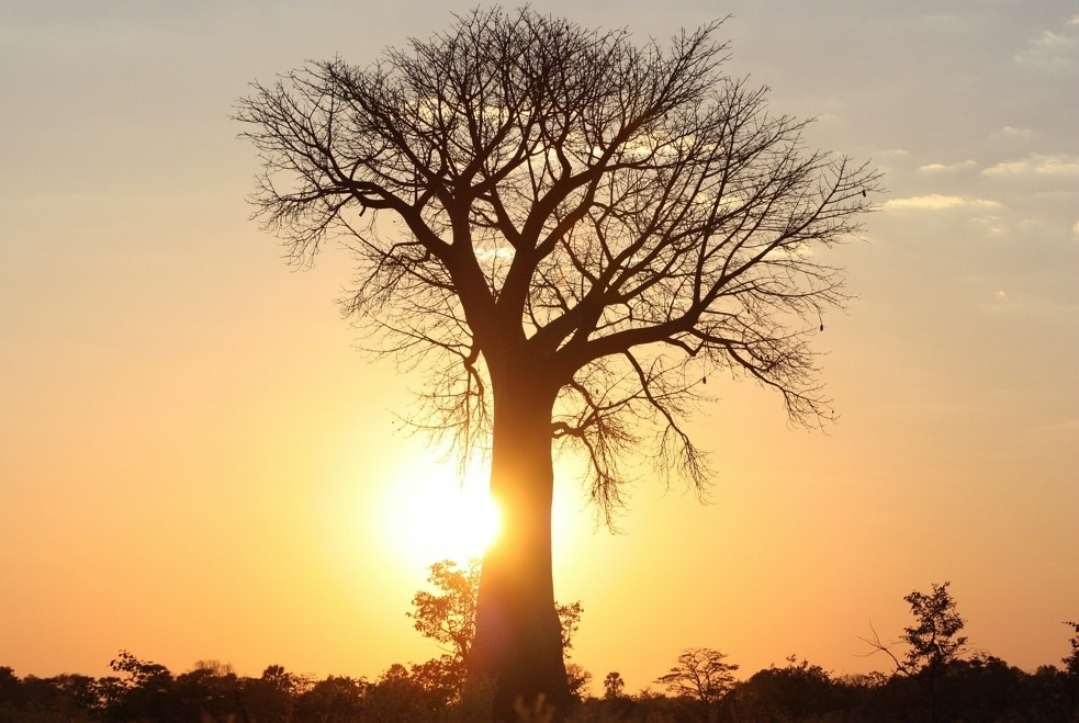 The Beauty of Baobabs