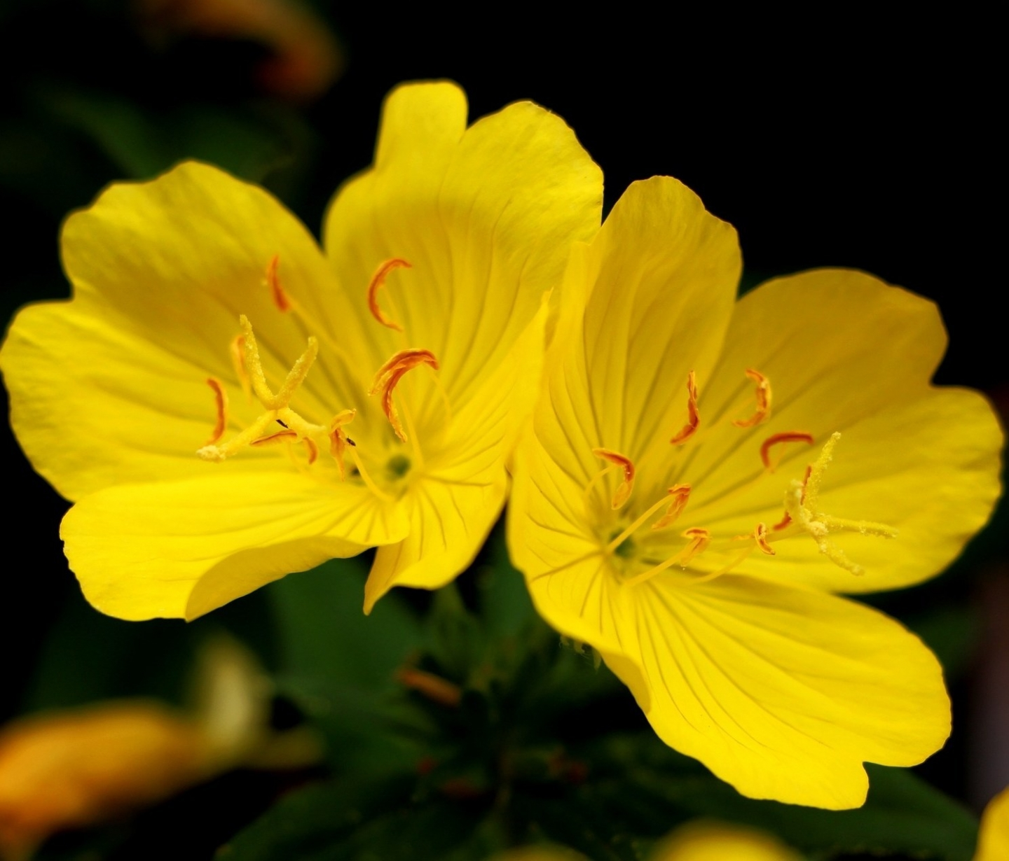 The Promise of Evening Primrose for Acne